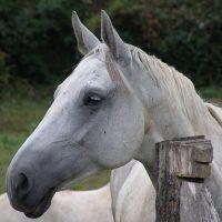 Mi caballo blanco